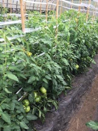 トマト畑.JPG