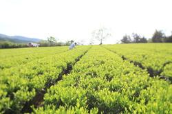 春の茶摘み.JPG